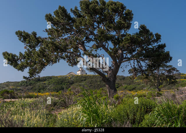 Large Tree in Front of Lighthouse at Cabrillo - Stock Image