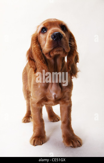 A Working Cocker Spaniel standing - Stock Image