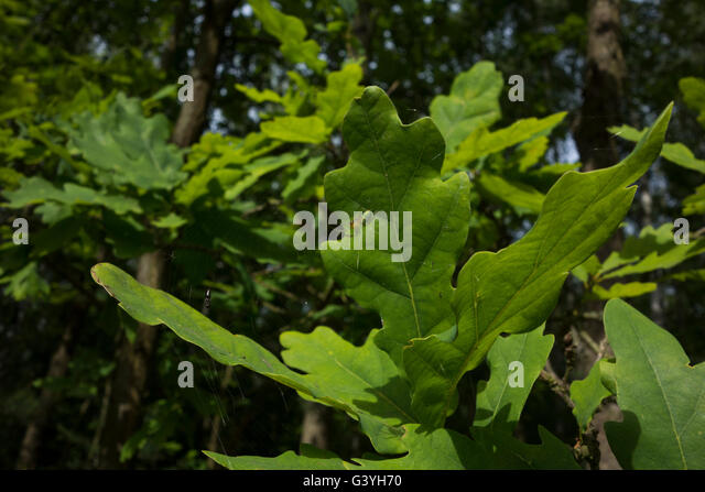 Cucumber green spider (Araniella cucurbitina) between leaves, Germany. - Stock Image