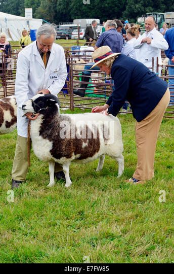 Judging a sheep class at Romsey Show 2014 - close inspection of the quality of the fleece. - Stock Image