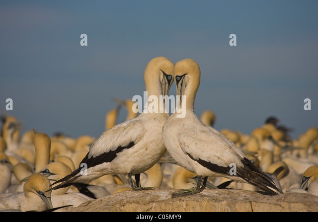 Cape Gannets Preening, Bird Island, South Africa - Stock Image