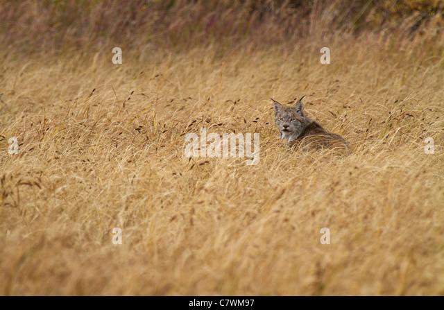 Wild lynx, Denali National Park, Alaska. - Stock Image