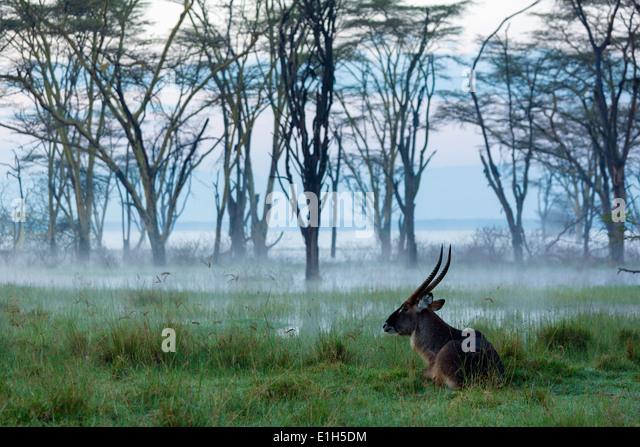 Male Waterbuck (Kobus ellipsiprymnus), Lake Nakuru National Park, Kenya, Africa - Stock Image