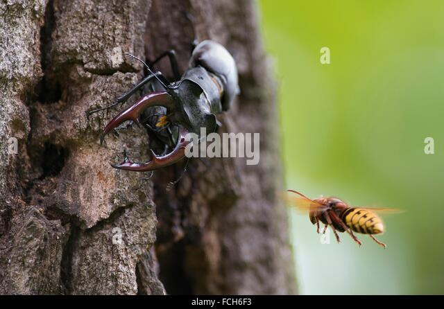 Stag beetle (Lucanus cervus) on old oak tree, attacked by hornet (Vespa crabro), Bavaria, Germany. - Stock Image