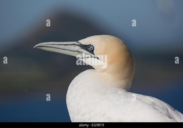 Northern gannet, Bass Rock Scotland - Stock Image
