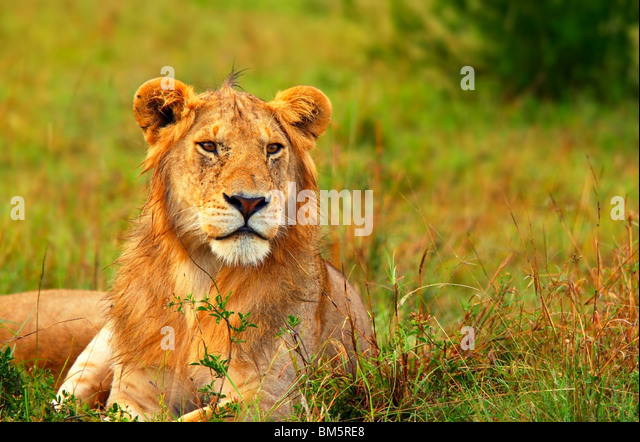 Portrait of young wild African lion. Africa. Kenya. Masai Mara - Stock Image