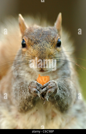 Eastern Gray Squirrel (Sciurus carolinensis) eating a nut in Union Square Park, New York, USA, April 2011. - Stock Image