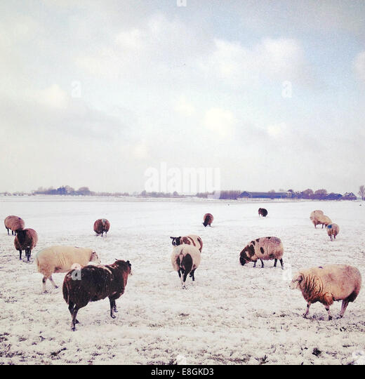 Flock of sheep at pasture at winter - Stock Image