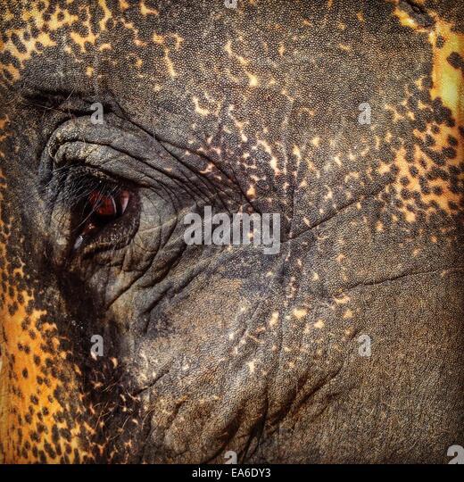 Thailand, Koh Phangan, Ban Thai, Close-up of elephant's eye - Stock Image