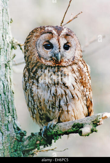 The tawny owl is an owl the size of a pigeon. It has a rounded body and head, with a ring of dark feathers around - Stock Image