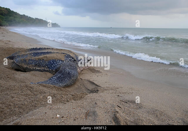 Leatherback Turtle (Dermochelys coriacea) adult female on beach near sea bay view Trinidad and Tobago April 2016 - Stock-Bilder
