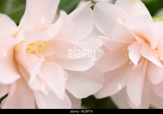 a taste of spring with camellia blooms fine art photography Jane Ann Butler Photography JABP477 - Stock Image