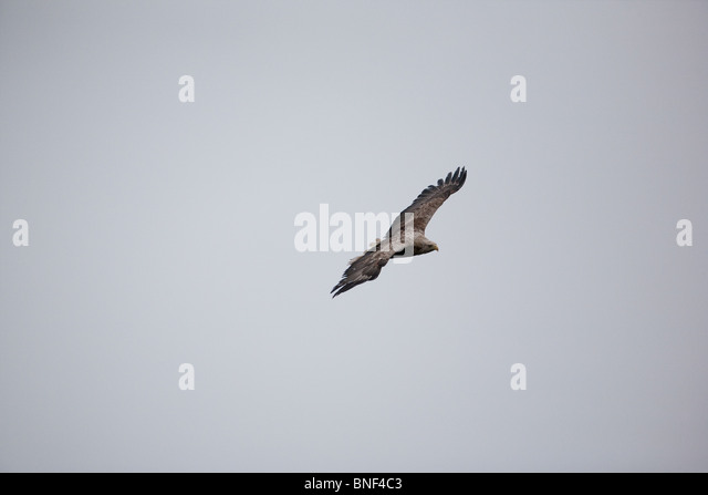 A White-tailed eagle soaring in the mist above the island Runde on the Norwegian west coast. - Stock Image