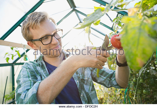 Man pruning tomato plant in greenhouse - Stock Image