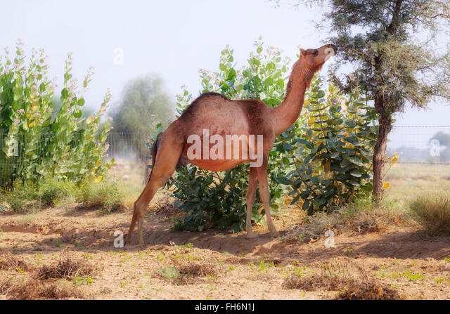 camel near Jaisalmer, Rajasthan, India, Asia - Stock-Bilder