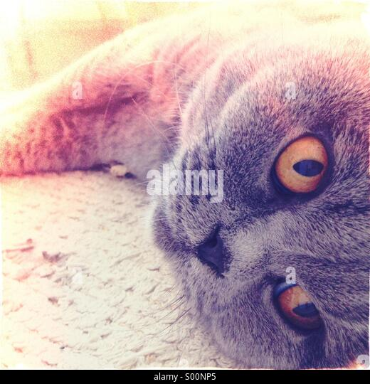 Grey cat, lying down - Stock Image