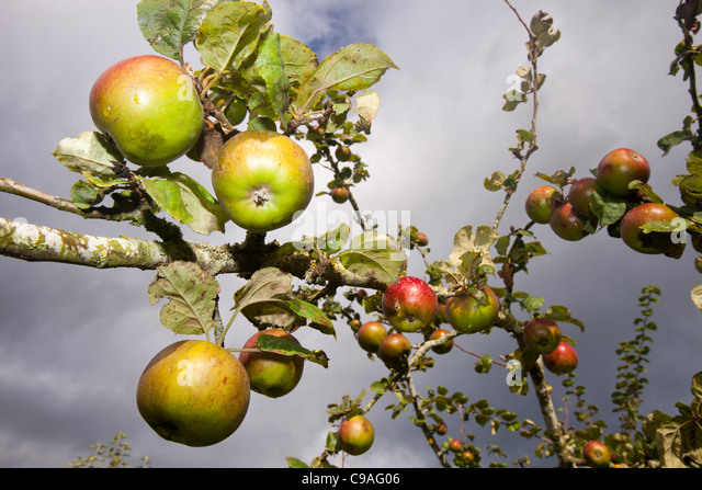 Apples on an apple tree in a traditional orchard, Cumbria, UK. - Stock Image