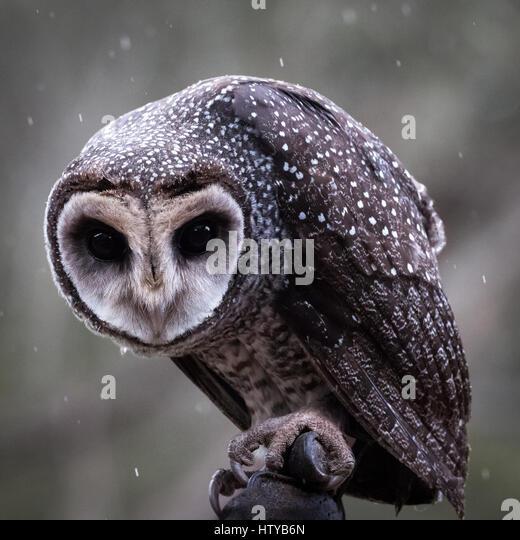 Sooty Owl (Tyto tenebricosa) - Stock Image