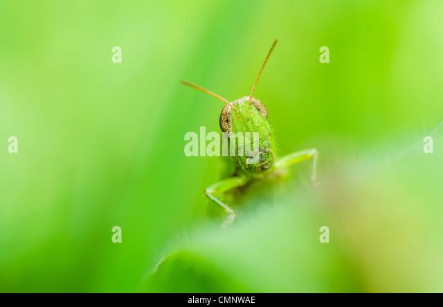grasshopper macro in green nature or in the garden - Stock Image