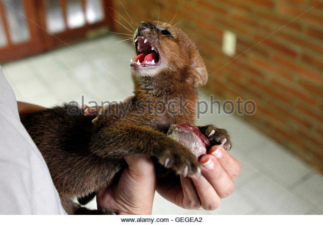 A two-month old Puma Jaguarundi cub (Puma yagouaroundi) is displayed at AMARTE Foundation in Managua January 27, - Stock Image