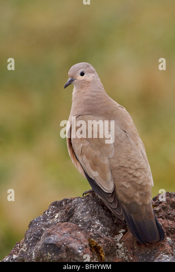 Black-winged Ground-Dove (Metriopelia melanoptera) perched on a rock in the highlands of Ecuador - Stock Image