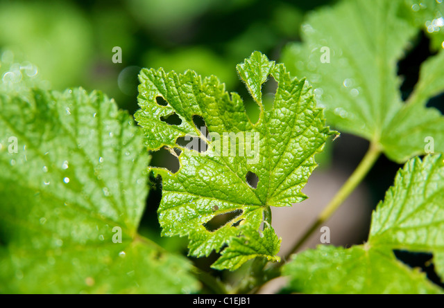 Holes in the leaves of the red currant, caused by the currant sawfly. - Stock Image