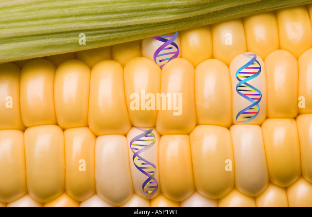 genetic investigation of corn Corn genetics chi square analysis in this exercise, you will examine an ear of corn and determine the type of cross and genes responsible for the coloration and texture of the corn kernels like the one show below.