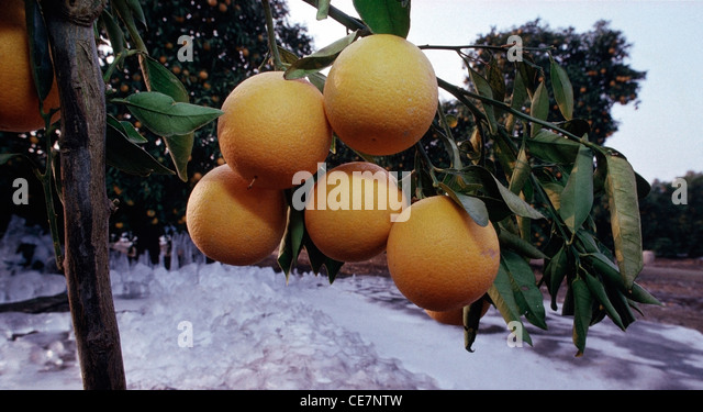 Frozen Valencia oranges on trees after a pre-Christmas freeze in the Tulare County California. - Stock Image
