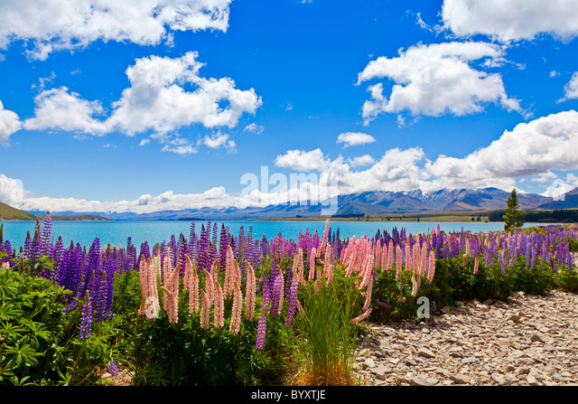 Lupin wildflowers on the shore of lake Tekapo in New Zealand - Stock Image
