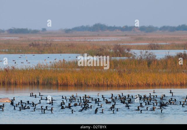 Cormorants on the lake in rural India, Gujarat, India, Asia - Stock-Bilder