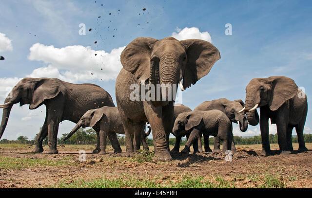 African elephant herd (Loxodonta africana) spraying mud with trunk, Masai Mara National Reserve, Kenya. December - Stock-Bilder