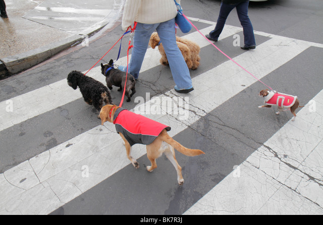 Washington DC 7th Street Northwest woman dog walker job animal dog pet leash dog coat obedience crossing street - Stock Image