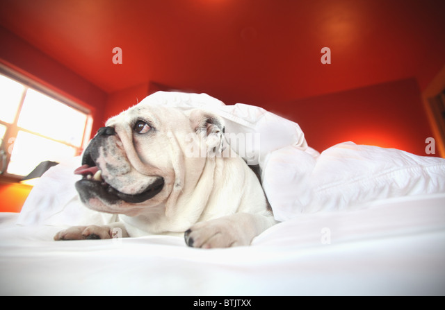 happy  bull dog laying on bed under covers - Stock Image