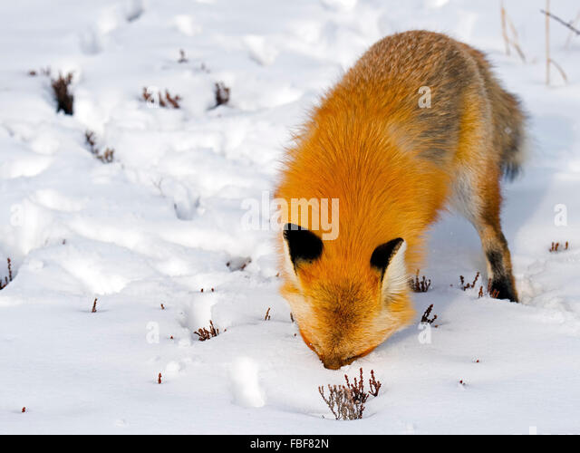 Red Fox in Snow - Stock Image