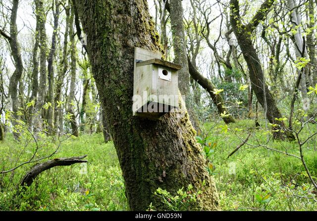 bird nest box on an old oak tree Carmarthenshire Wales - Stock Image