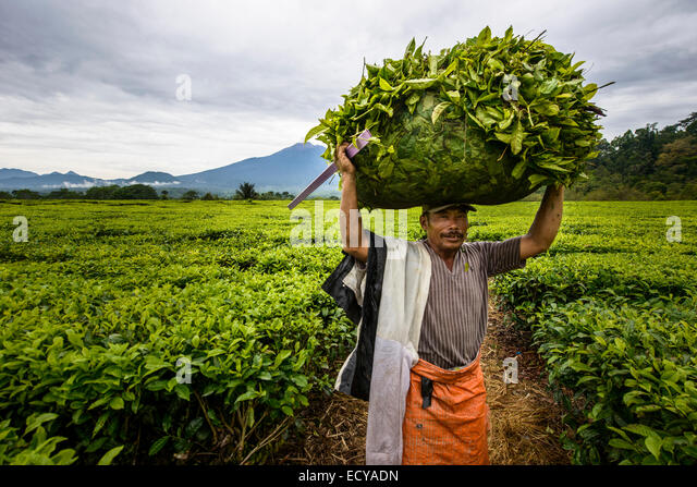 Tea leaves pickers in Sumatra, Indonesia - Stock Image