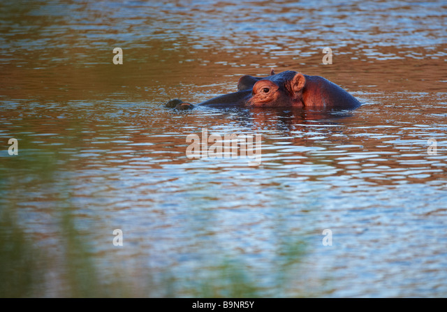 wary hippopotamus in a river, Kruger National Park, South Africa - Stock-Bilder