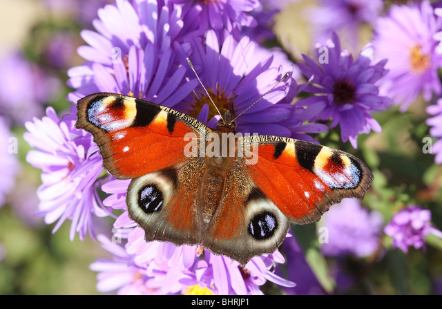 European Peacock butterfly on lilac blossom / Inachis io - Stock Image