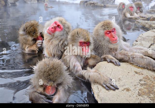 Macaques bath in hot springs in Nagano, Japan. - Stock Image