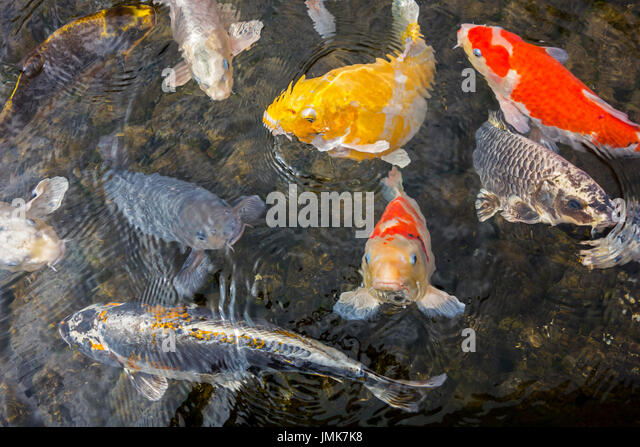Yellow koi stock photos yellow koi stock images alamy for Colourful koi fish