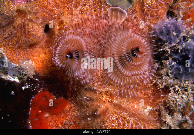 underwater two christmas tree worms - Stock Image