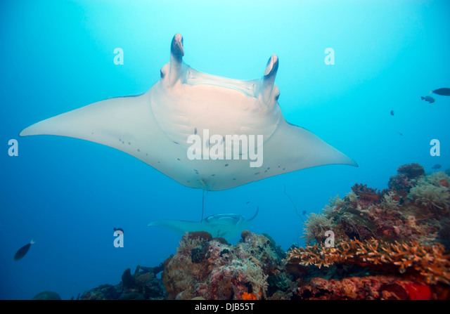 Manta Rays , Manta birostris, swimming over coral reef, German Channel, Palau, Micronesia, Pacific Ocean - Stock Image