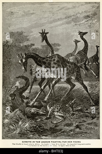 1901 engraving, Giraffe in the lagoon fighting for her young. - Stock Image