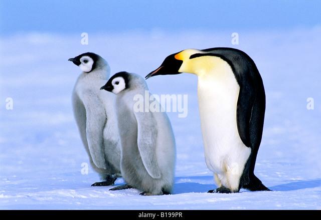 Adult emperor penguin (Aptenodytes forsteri) and chicks, Atka Bay colony, Weddell Sea, Antarctica. - Stock Image