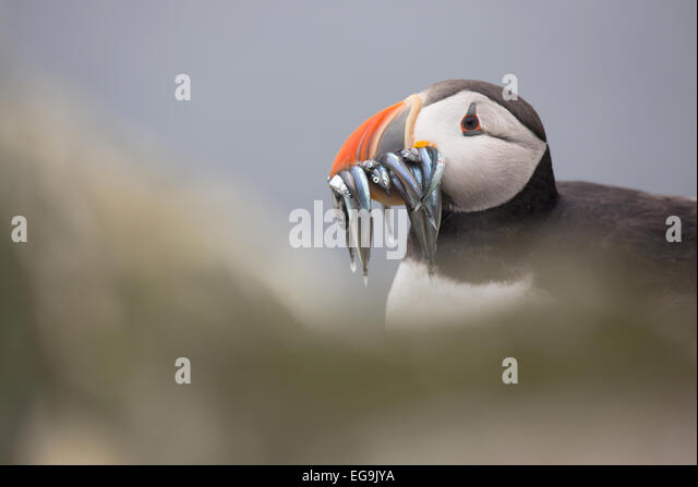 Atlantic puffin. Farne Islands, Northumberland UK - Stock Image