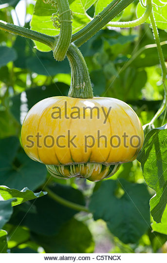 Cucurbita maxima . Turks Turban Squash on the plant - Stock Image