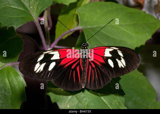 The Postman Butterfly, Heliconius Melpomene Madiera - Stock Image