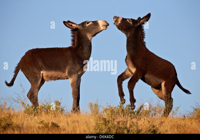 Two young wild burro (donkey) (Equus asinus) (Equus africanus asinus) playing, Custer State Park, South Dakota, - Stock Image