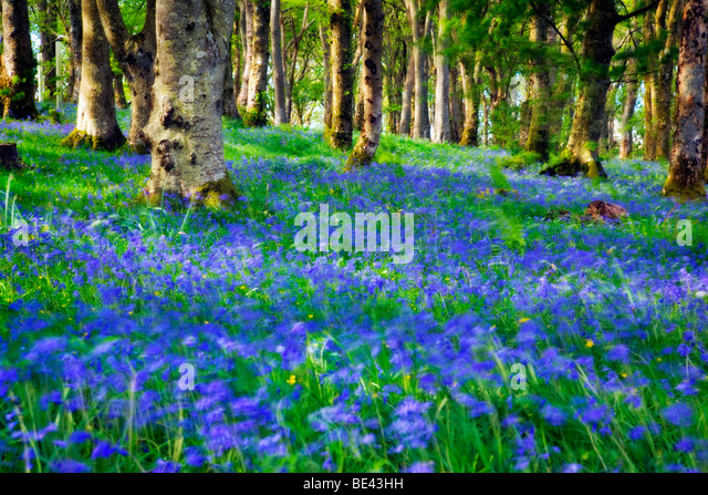 Impressionist view of bluebell woods on the Scottish island of Islay - Stock Image