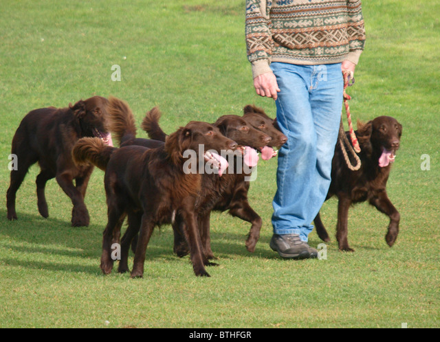 how much is a dog haircut walker lots of dogs stock photos amp walker lots of 5138 | walking five irish setters uk bthfgr